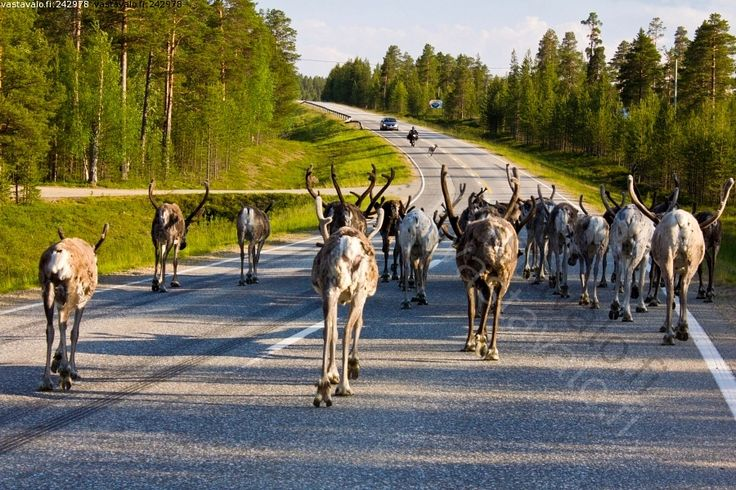 Reindeer in Finland wander freely around. Be aware when you drive there!