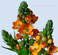 Orange star of bethlehem flower or sun star flower