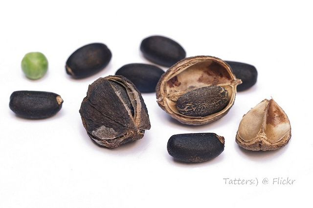 Bio-Deisel (seeds of 'Barbados nut' - Jatropha curcas) | Flickr - Photo Sharing!