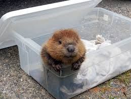 Image result for north american beaver baby