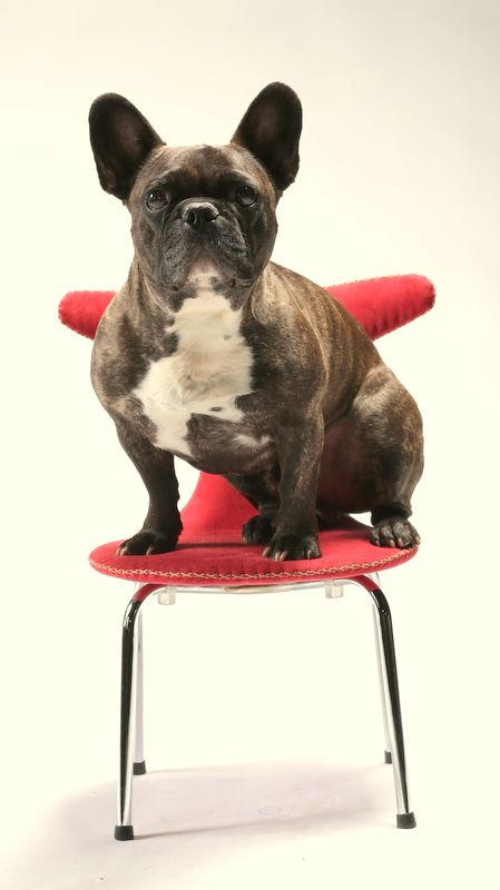 French Bulldog & House dog on CHILD chair in corduroy with contrast stitches