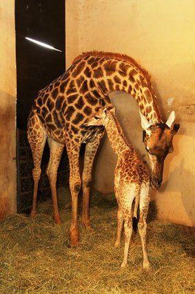 Girafa nasce no zoológico de São Paulo