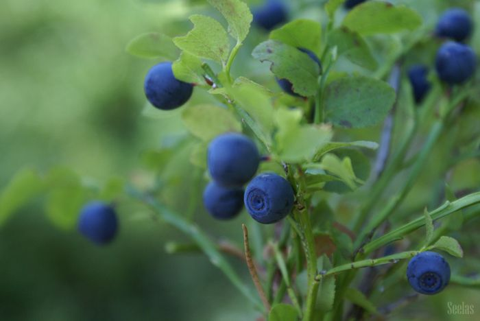 Blueberry time!