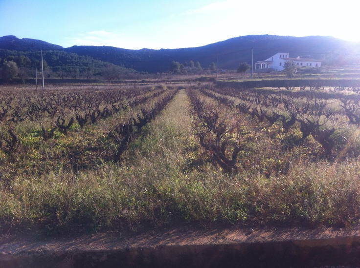 Vineyards in Spain. January 2nd 2013