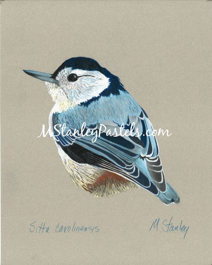 Pastel drawing to the bird nuthatch Sitta carolinensis. Wish to purchase it? Please go to http://www.etsy.com/shop/mstanleypastels