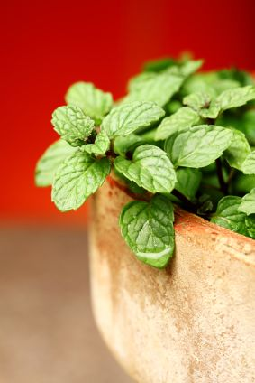 How to Grow Mint: Mint grows quickly however, it can take over, so keep it in its own pot; is a perennial.  Water frequently until the plants become well established and then you can back off a bit. Keep the soil moist. Container plants will need to be watered a little more often as they tend to dry out fast.  Prune back large mint plants if you're not harvesting regularly. Overgrown mint produces poor flavored leaves.   Grow This! Also READ http://bonnieplants.com/growing/growing-mint/