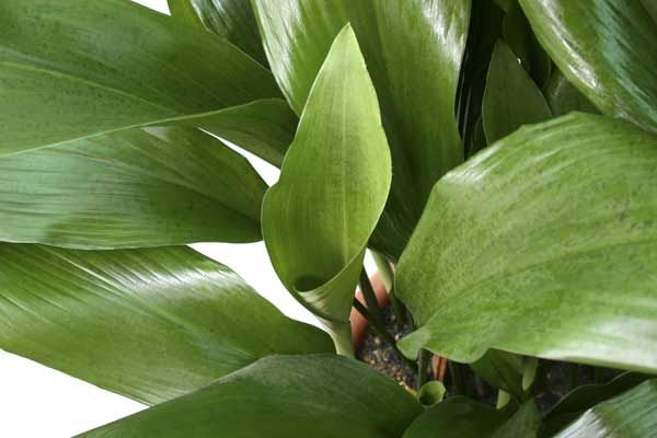 131 besten zimmerpflanzen bilder auf pinterest - Schattenpflanzen zimmer ...