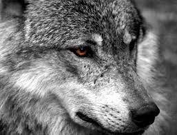 Resultado de imagen para frases lobo estepario