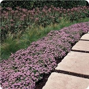 Blue Ageratum Low Growing Border Plant Landscaping