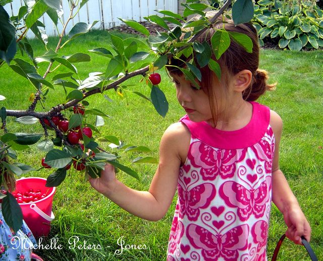 cherry picking season california | My baby girl easily ate more cherries than she picked!