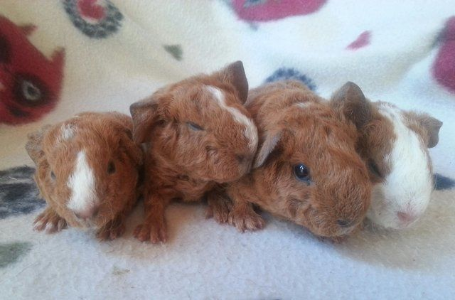 Teddy baby guinea pig pictures