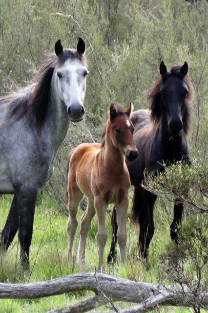 Brumbies, les chevaux sauvages australiens #australie #chevaldaventure
