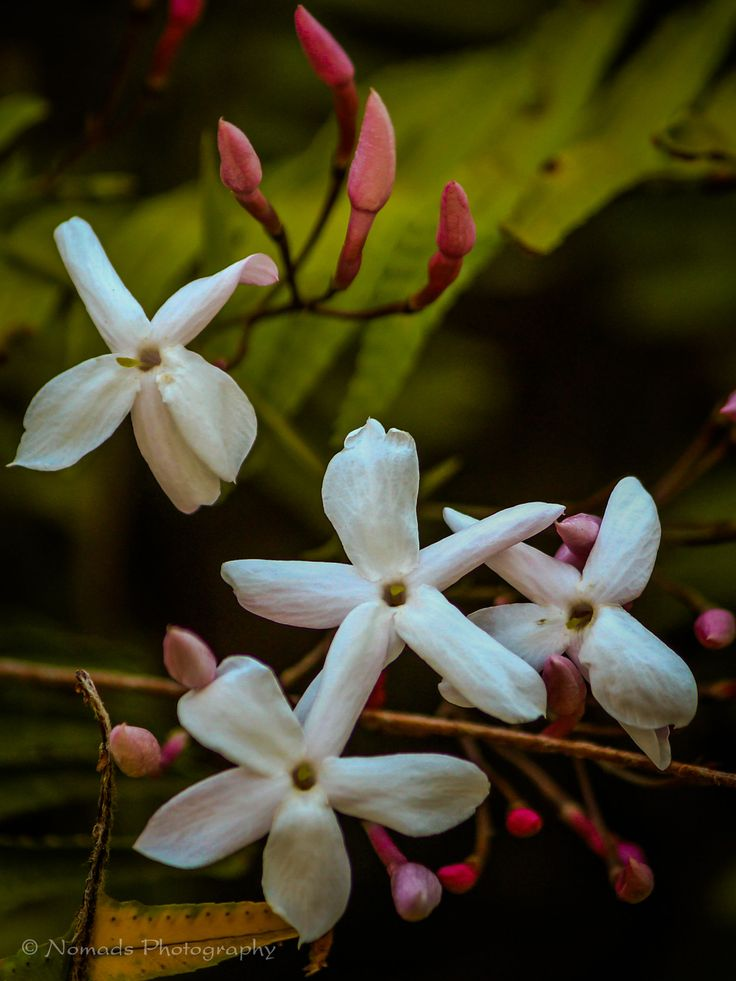 Serene - Widely cultivated for its flowers, jasmine is enjoyed in the garden, as a house plant, and as cut flowers. The flowers are worn by women in their hair in South and South East Asia.