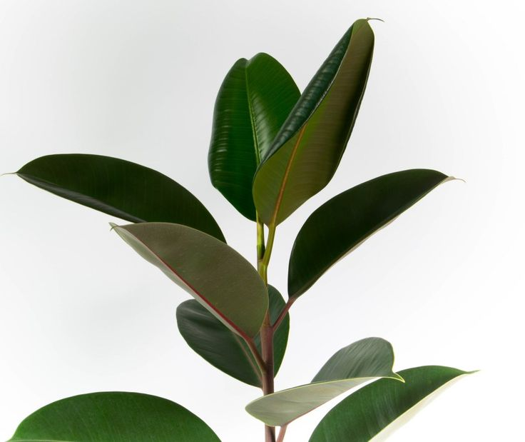 Tall, Dark And Handsome, This Rubber Tree   Perhaps The Perfect Indoor Plant    Is Combined With A Chic Black Self Watering Planter.