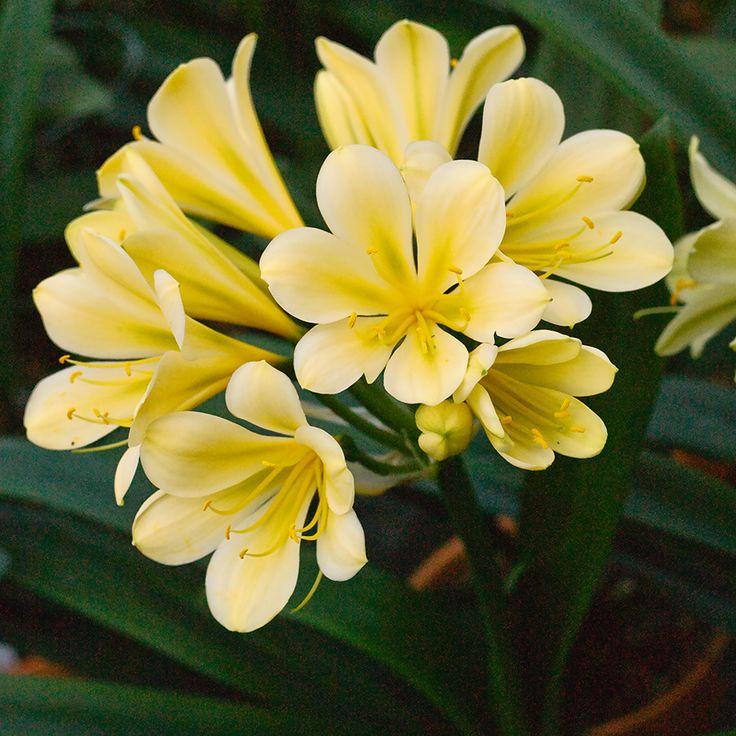 Clivia miniata, (TK Yellow x Hirao) x Green Bomb.  Colorado Clivia's plant number 1973D.