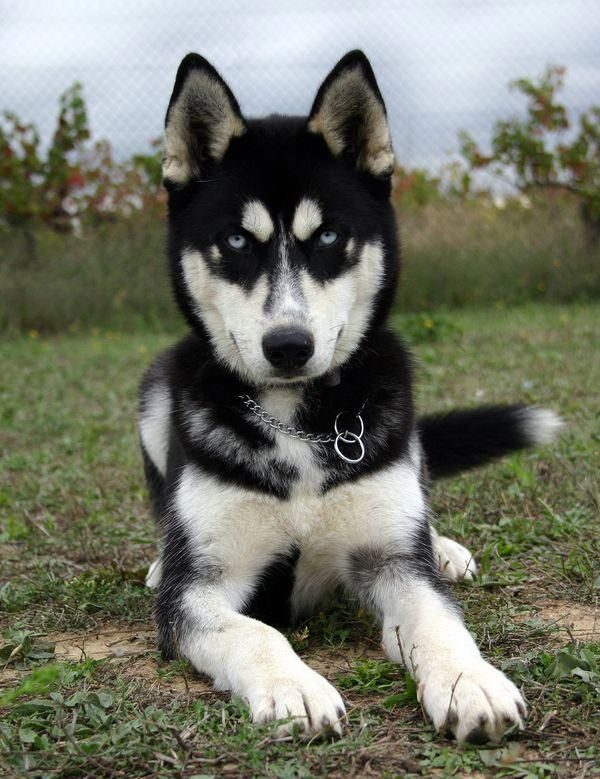 Siberian Huskies Tags Puppy Facts Funny Face Training Tips For Sale Red Black White Mix Tattoo Names C Siberian Husky Dog Husky Dogs Husky Puppy