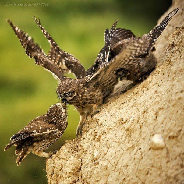 Воробьиный сычик (Glaucidium passerinum), Pygmy owl. Над жёлтыми глазами заметны тонкие светлые «брови». Верх буроватый с белыми пятнышками, низ светлее, с чёткими тёмными продольными отметинами, которых больше на боках. На хвосте четыре белые полоски.Вид включает 2 подвида в С и Ц Евразии. В Европе распространён преимущественно в северных регионах, на юге гнездится в основном в горах на высоте до 2000 м над у. м. В Италии оседлая популяция численностью 300-600 пар живёт в Альпах.