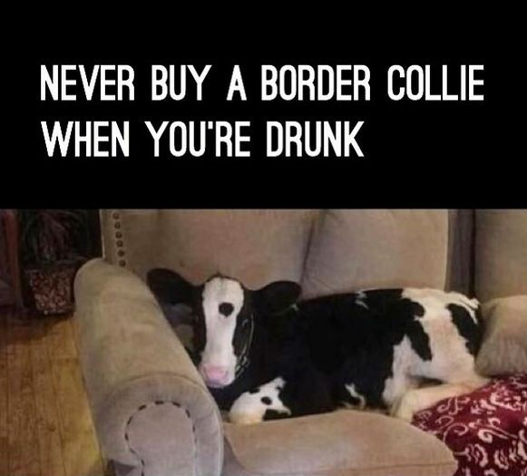 9gag Animals Funny Photos   Border collie, Pugs funny, Collie