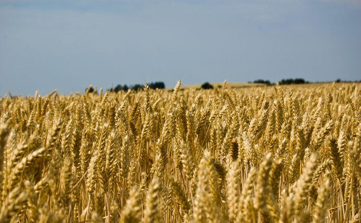 Fields of gold ( wheat )