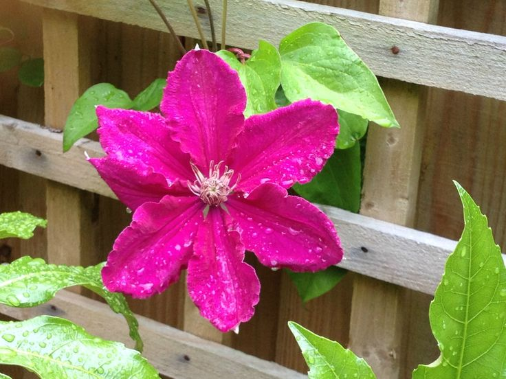 Clematis with rain water