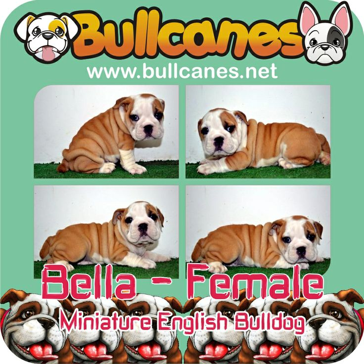 BELLA MINIATURE ENGLISH BULLDOG PUPPIES FOR SALE - MAY 2014 http://www.bullcanes.net/ Bulldog Breeders ceo@bullcanes.net bullcanes1@hotmail.com WhatsApp: +57 3113547995 Instagram: @BULLCANES Bulldog puppies for Sale TollFree: 1-888 7806050 Carolina Osorio
