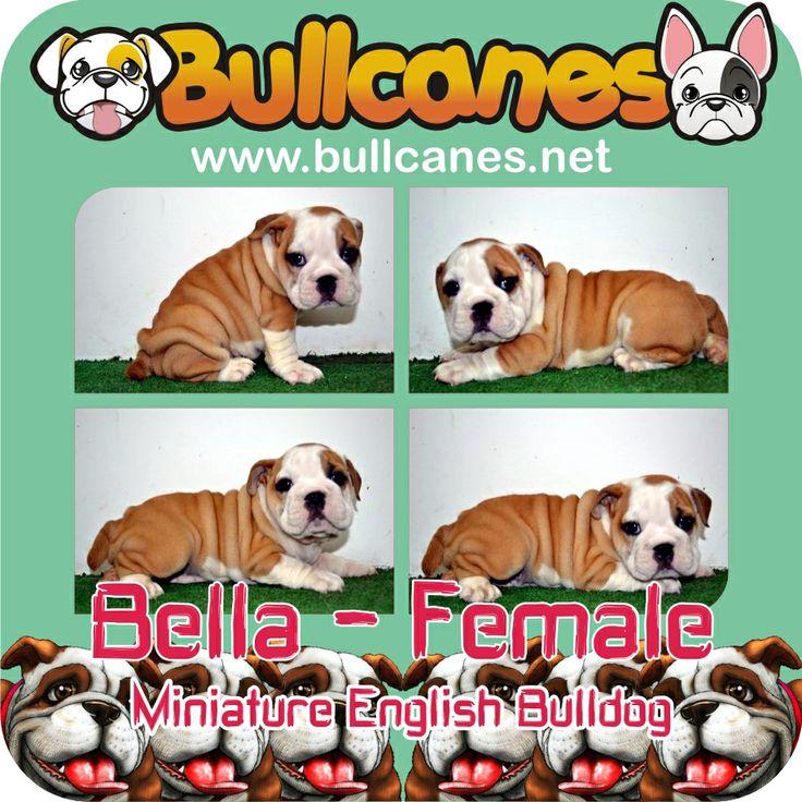 BELLA - Female Miniature English Bulldog Puppy For Sale http://www.bullcanes.net / ceo@bullcanes.net / Facebook: bullcanes1@hotmail.com / instagram: @BULLCANES Bulldog puppies for Sale / Twiter: bullcanes1 / YouTube: Bullcanes Bulldog Kennel