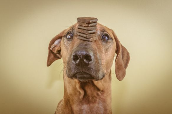 The Rhodesian Ridgeback is a master of concentration.