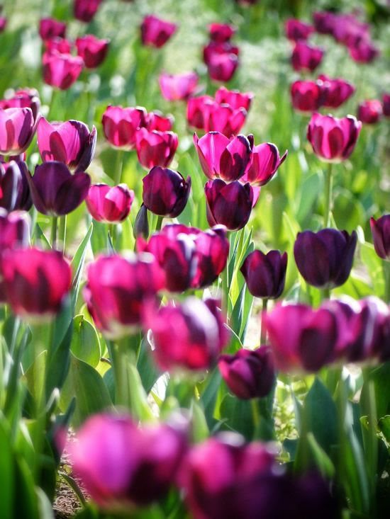 Welcome to May! Mercury stations direct this week! Enjoy Your New Weekly Horoscopes for May 1 to 7, 2017   http://www.symbolicliving.com/2017/05/mercury-direct-in-aries-weekly-horoscopes-may-1-7-2017.html    Tulips Pink Spring Sunshine Nature