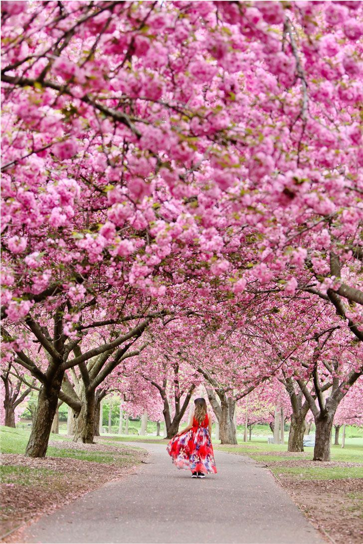 Best Places To See Cherry Blossoms In Nyc Cherry Trees Garden Blossom Trees Cherry Blossom Tree