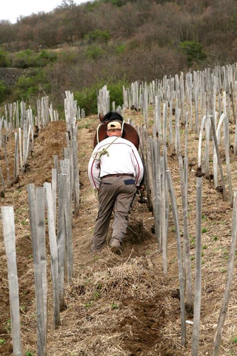 Furmint vineyard