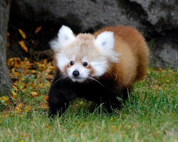 This weekend a little red panda named Tofu made her first public appearance at the Detroit Zoo! | This Adorably Shy Red Panda Cub Debuts With A Little Help From Her Mom - BuzzFeed News
