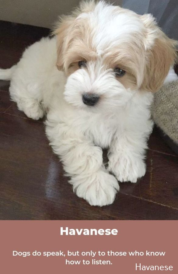 Havanese Dogs Red Havanese Dogs Puppy Dog Pictures Super Cute Puppies