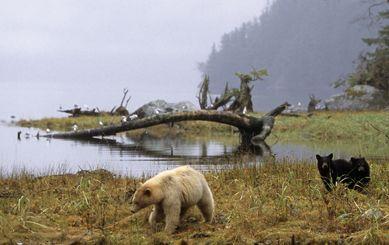 Great Bear Rainforest, B.C. - home of the Kermode (Spirit) Bear, whales, waterfalls. . . .