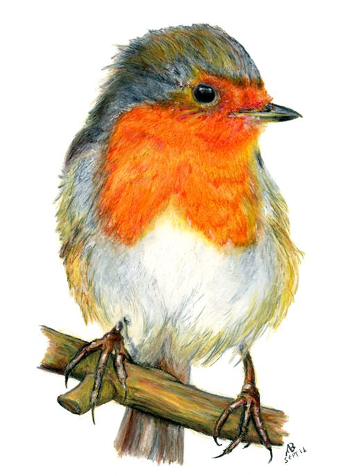 Robin Red Breast, Watercolour Pencil Drawing
