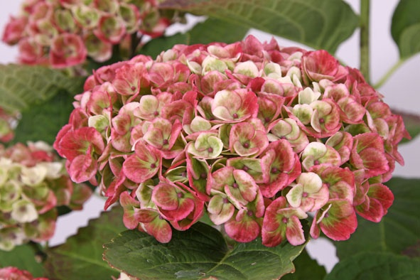 Hydrangea macrophylla Magical Revolution Pink - garden - hortensia