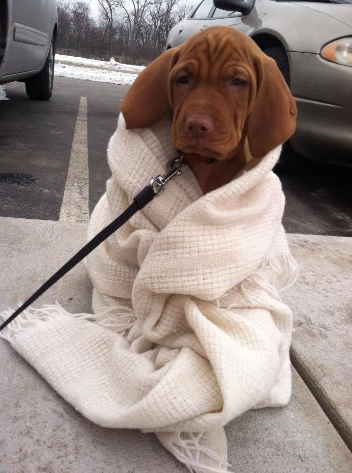 vizsla puppy- Please can I have??