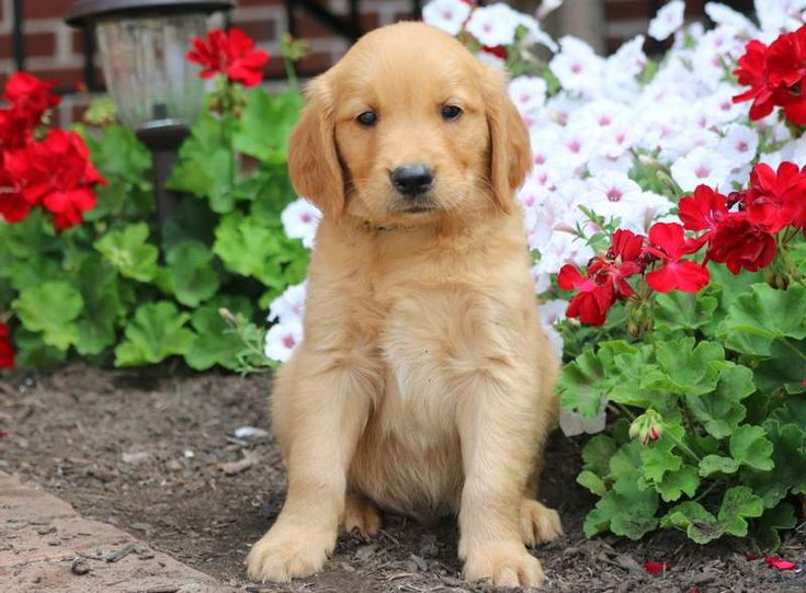 Houston Dogs Golden Retriever Puppies For Sale Puppies
