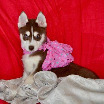 Siberian Husky puppy for sale in CORTE MADERA, CA. ADN-66509 on PuppyFinder.com Gender: Female. Age: 8 Weeks Old
