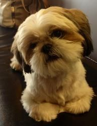 Sherman is an adoptable Shih Tzu Dog in Los Alamitos, CA. Sherman is a male 1.5 yr old shih tzu. He is a great boy, very relaxed, snuggly, kissy.... truly a joy. Sherman loves attention and will gi...