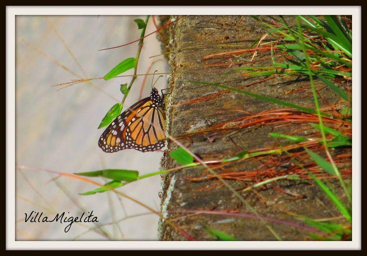 Monarch butterfly taken at my Villa