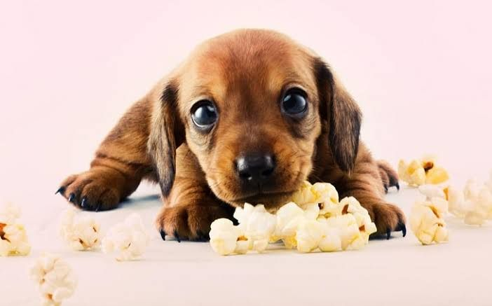 Can Dogs Eat Popcorn Explore Pets Life Can Dogs Eat Pet Life