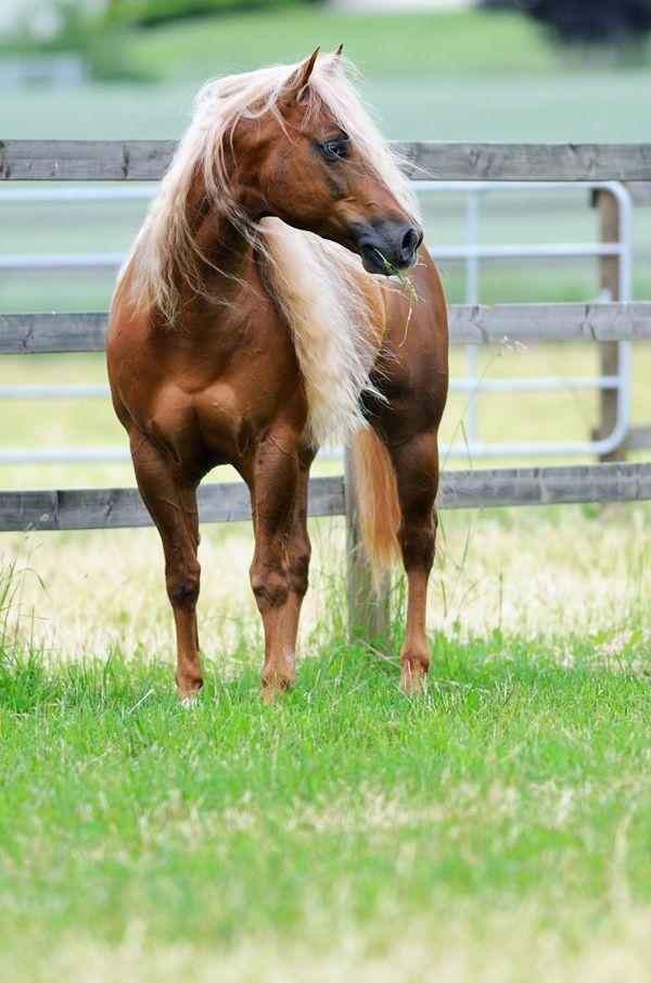 Horse / American Quarter Horse (Black Wind Estates)