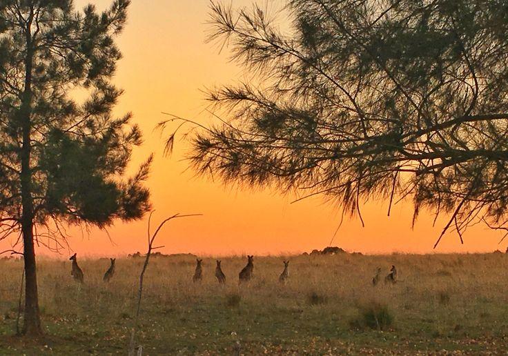 Sunset, Kangaroos