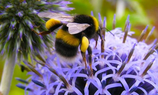 """Few people realise just how important bumblebees are. They are charming little things and a pleasure to see, but they also do an essential ..."