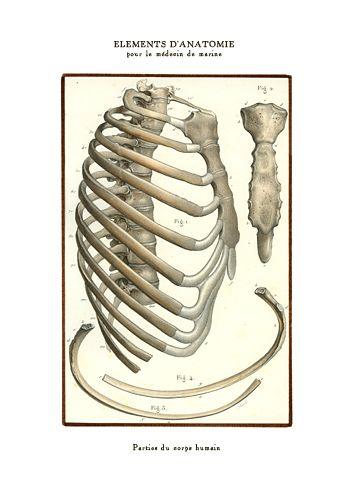 Anatomie - cage thoracique. Éléments d'anatomie pour le médecin de marine, reproductions de planches anatomiques françaises datant de 1866.