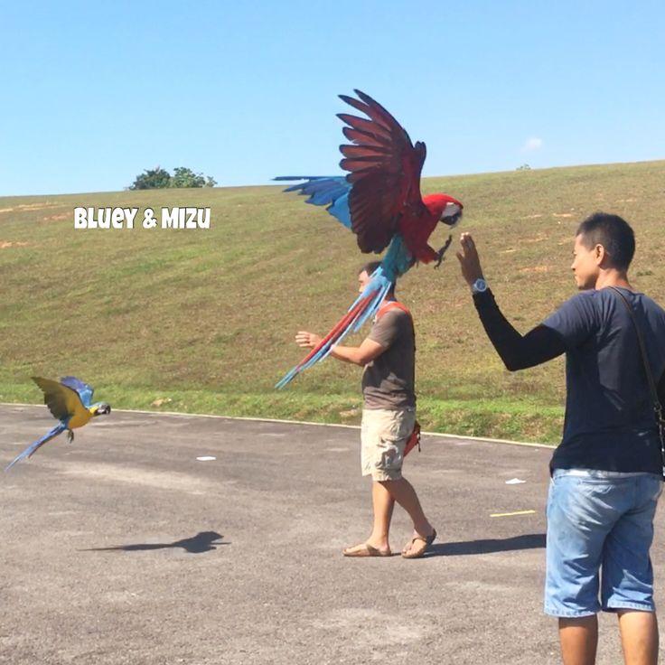 Max and Macky incoming 😎☀️  #hyacinthmacaw #parrots #macaws #loro #guacamaya #papagaio #papegøje #papegaai #papagei #pappagalli #papuga #Попугаи #papağan #鸚鵡  #affinityflight #parrot #macaw #guacamayo #arara #perroquet #papagaj #pappagallo #papegøye #Попугай #papegoja #ببغاء #オウム#앵무새 #طوطی #flyingparrots #freeflyingparrots #greenwingmacaw #blueandgoldmacaw #conure #sunconure