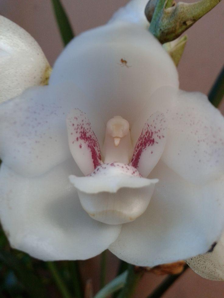 flor del esp237ritu santo flor nacional de panam225 mi