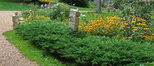 Evergreen Ground Cover And Black Eyes Susans Love Also