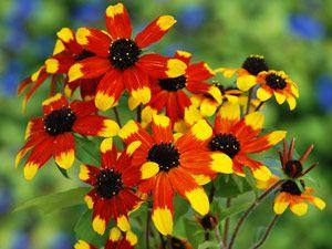 Bicolor Black Eyed Susans (Rudbeckia Prairie Glow)