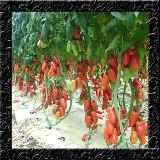 Trepadeira Amor Agarradinho Rosa Sementes Flor Para Mudas - R$ 12,99